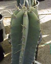 Cereus Peruvianus Radiestesia Redes Teluricas Hartmann Geobiologia Geopatias Salud Curry
