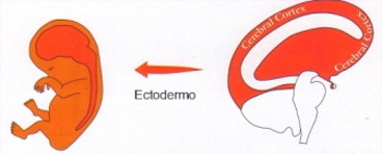 Ectodermo Corteza Cerebral Nueva Medicina Hamer 3ra Ley Biologica Sistema Ontogenetico