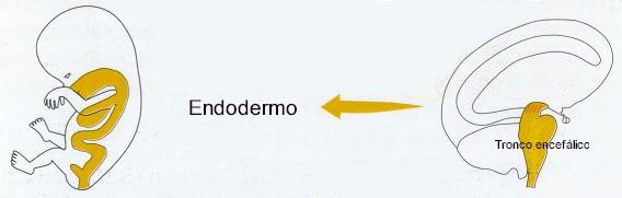 Endodermo Tronco Cerebral Nueva Medicina Germanica Hamer 3ra Ley Biologica Sistema Ontogenetico