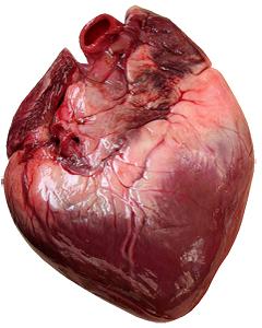 Corazon Miocardio Nueva Medicina Germanica NMG Hamer Leyes Biologicas 5LB Infarto Arterias Venas Auriculas Ventriculos Valvulas Coronarias