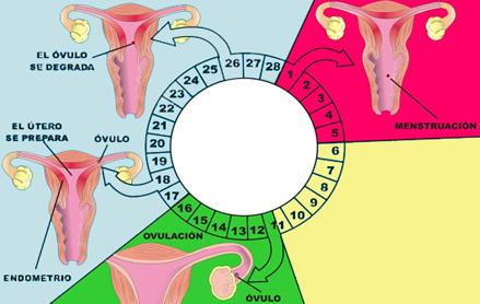 Nueva Medicina Germanica NMG Hamer Leyes Biologicas 5LB Menstruacion Ovulacion Mujer Ovulo Utero Vagina Fecundacion Embarazo Ciclo Menstrual