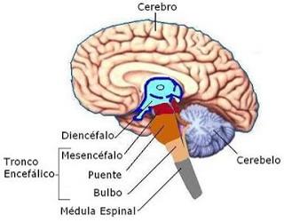 Musculatura Lisa Endodermo Nueva Medicina Germanica Hamer NMG 5LB Leyes Biologicas Organos Mesencefalo Cerebro Tronco Cerebral