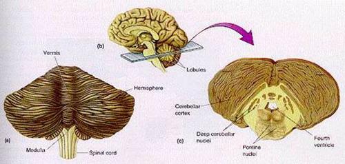 Mesodermo Antiguo Cerebelo Nueva Medicina Hamer 3ra Ley Biologica Sistema Ontogenetico Organos