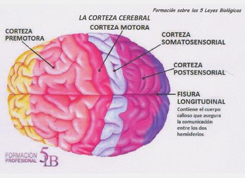 Cerebro Humano Nueva Medicina Germanica Hamer NMG Corteza Cerebral Hoja Embrionaria Ectodermo 5LB Leyes Biologicas