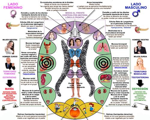 Corazon Miocardio Nueva Medicina Germanica NMG Hamer Leyes Biologicas 5LB Infarto Arterias Venas Auriculas Ventriculos Valvulas Coronarias Ectodermo Lobulo Temporal Corteza Territorial