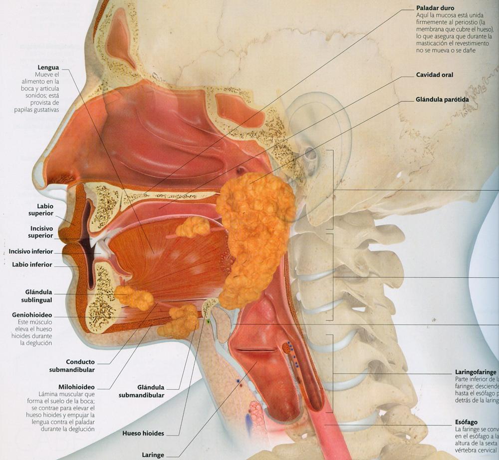 Endodermo Tronco Cerebral Nueva Medicina Germanica Hamer Organos Boca Submucosa Faringe Adenoides Parotidas Glandula Sublingual Paladar Amigdala Paratiroides Esofago