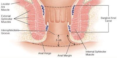 Endodermo Tronco Cerebral Nueva Medicina Germanica Hamer Organos Glandulas Anales Ano