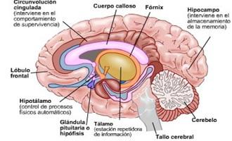 Endodermo Tronco Cerebral Nueva Medicina Germanica Hamer Organos Boca Submucosa Faringe Adenoides Parotidas Glandula Sublingual Paladar Amigdala Paratiroides