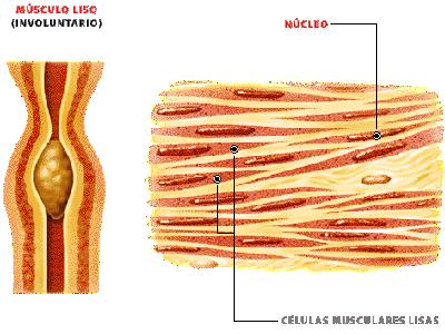 Musculatura Lisa Endodermo Nueva Medicina Germanica Hamer NMG 5LB Leyes Biologicas Organos Mesencefalo