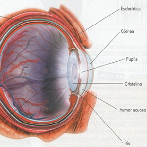 Ectodermo Nueva Medicina Germanica Hamer Organos Ojo Parpado Conjuntiva Cornea Cristalino