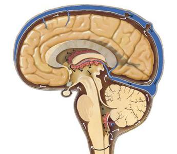 Endodermo Nueva Medicina Germanica Hamer NMG 5LB Leyes Biologicas Organos Plexos Coroideos Cerebro LCR Liquido Cefalorraquideo
