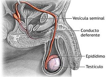 Endodermo Tronco Cerebral Nueva Medicina Germanica Hamer Organos Testiculos Partes Seminales