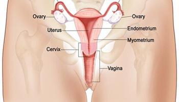 Endodermo Tronco Cerebral Nueva Medicina Germanica Hamer Organos Vagina Submucosa Vaginal