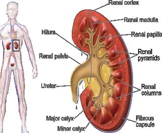 Mesodermo Nuevo Sustancia Blanca Nueva Medicina Germanica Hamer Organos Parenquima Renal Rinon Glomerulos