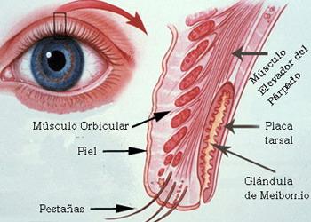 Mesodermo Antiguo Glandulas Tarsales Meibomio Parpado Ojo Cerebelo Nueva Medicina Germanica Hamer Organos
