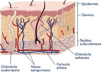 Mesodermo Antiguo Glandula Sebacea Piel Dermis Cerebelo Nueva Medicina Germanica Hamer Organos