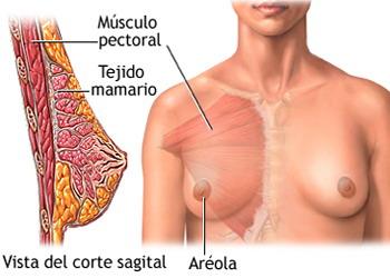 Mesodermo Antiguo Mama Glandula Mamaria Cerebelo Nueva Medicina Germanica Hamer Organos