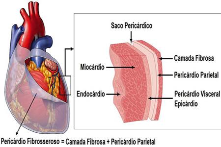 Nueva Medicina Germanica NMG Hamer Leyes Biologicas 5LB Articulo Andy Pasadofuturo.com Organos Cuatro Tejidos Embrionarios Corazon Miocardio Pericardio