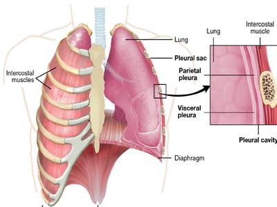 Mesodermo Antiguo Cerebelo Nueva Medicina Hamer 3ra Ley Biologica Sistema Ontogenetico Organos Pleura Torax