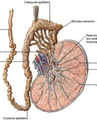 Mesodermo Nuevo Sustancia Blanca Nueva Medicina Germanica Hamer Organos Testiculos