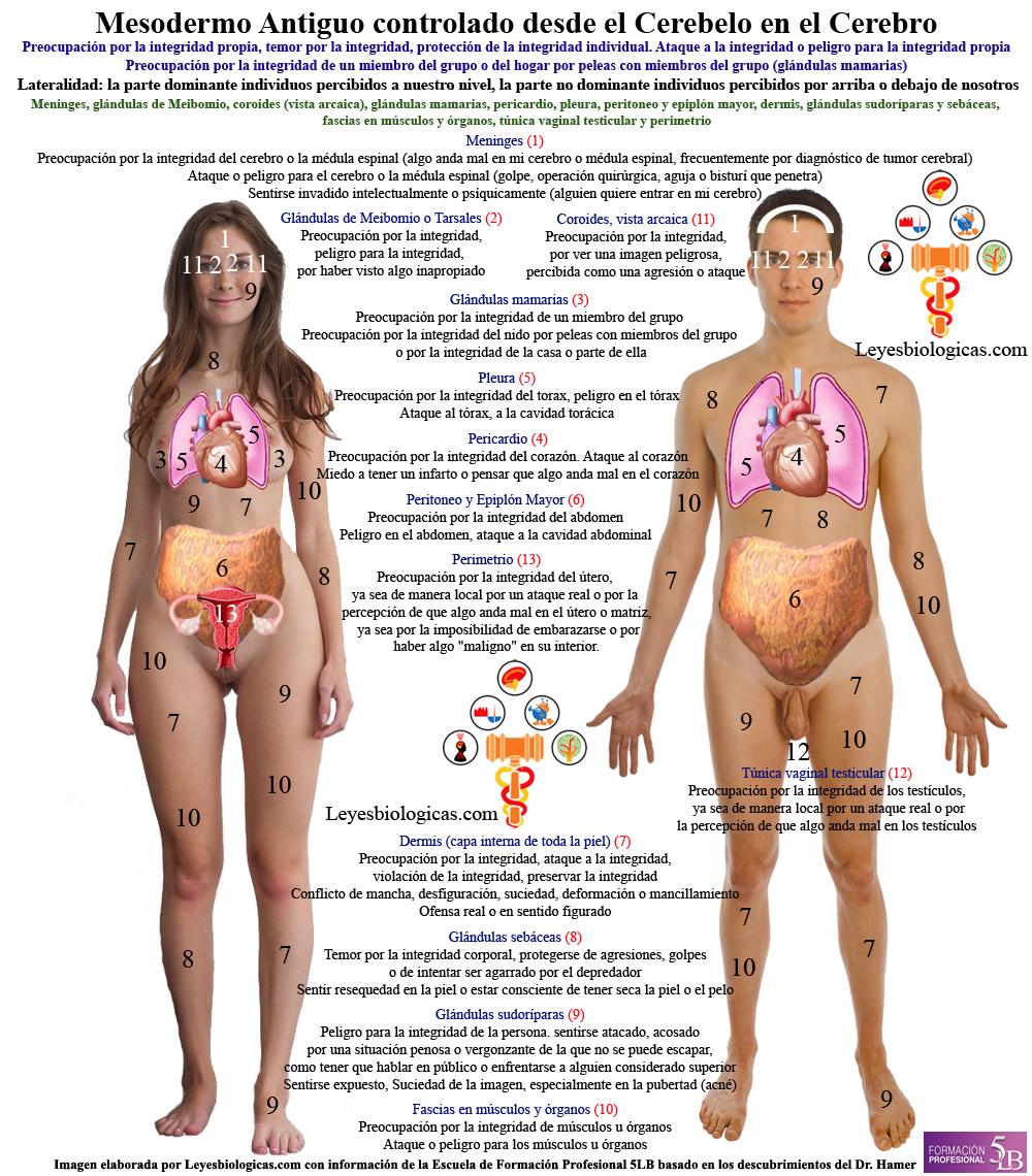 Pasadofuturo.com Mesodermo Antiguo Conflictos Organos Ataque Integridad Peleas Preocupacion Nido Nueva Medicina Germanica Hamer 5LB Leyes Biologicas