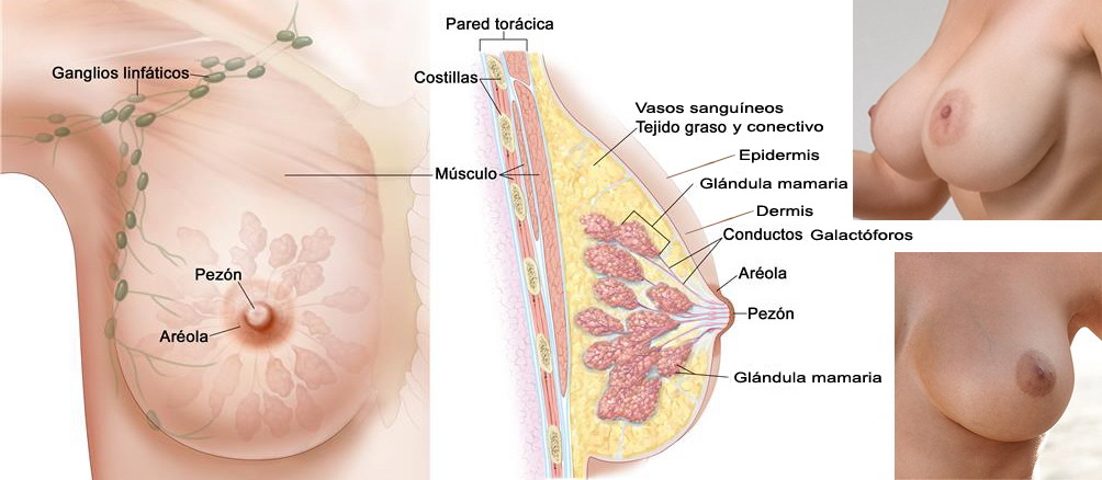 Pechos y glándulas mamarias